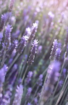 Free Flowers Of Lavender Royalty Free Stock Images - 29838759