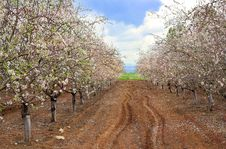 Free Blossoming Garden Of Peach Trees Stock Photography - 29838762
