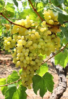 Free Harvest Of Green Grapes Royalty Free Stock Photography - 29838797
