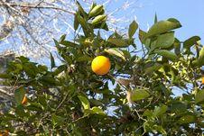 Free Orange Tree Stock Images - 29839114