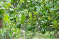 Free Kaffir Lime Stock Photography - 29841262