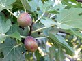 Free Figs Stock Images - 29841334