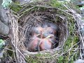 Free Just Born Bird In The Nest Blackbird Royalty Free Stock Photo - 29841395