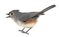 Free Tufted Titmouse Isolated Stock Photography - 29845642