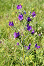 Free Echium Plantagineum, Commonly Known As Purple Viper&x27;s Bugloss Or Paterson&x27;s Curse Stock Image - 29846591