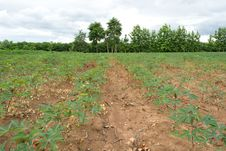 Free Cassava Crop Field Royalty Free Stock Photography - 29840037