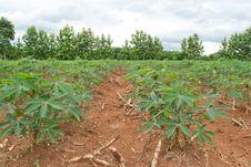 Free Cassava Crop Field Royalty Free Stock Photo - 29840045
