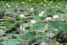 Free White Lotus Field Royalty Free Stock Photos - 29840058