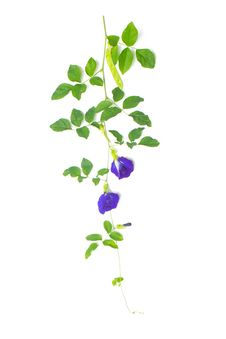 Free Butterfly Pea Stock Photos - 29840743