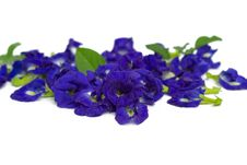 Free Butterfly Pea Stock Images - 29840804