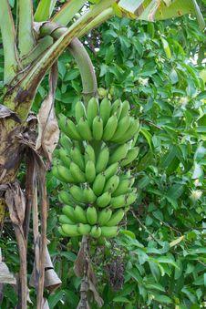 Free Green Banana Stock Images - 29841254