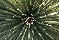 Free Yucca Plant Stock Photo - 29843260