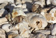Small Crab In A Shell On The Beach, Between The Pebbles Royalty Free Stock Images