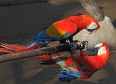 Free Two Parrots Macaw On A Bamboo Pole Royalty Free Stock Photos - 29844238