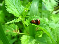 Free Motley Bugs On The Leaf Making Love Stock Images - 29844274