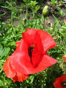 Beautiful Flower Of The Red Poppy Royalty Free Stock Images