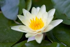 Free Beautiful Water Lily Stock Photos - 29847713
