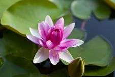 Free Beautiful Water Lily Stock Image - 29847881