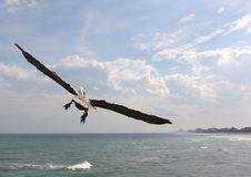 Free Pelican In Flight Stock Image - 29848341
