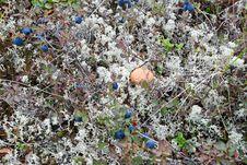 The Mushrooms In The Tundra. Royalty Free Stock Photo