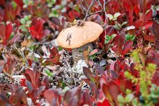 The Mushrooms In The Tundra. Stock Images