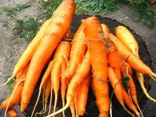 Free Bunch Of Orange Carrots Royalty Free Stock Image - 29849706
