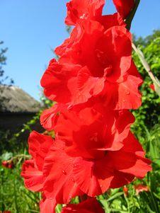Free Beautiful Flower Of Gladiolus Royalty Free Stock Photos - 29850778