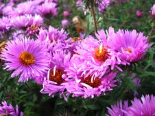 Flowers Of Red Beautiful Aster Stock Photos