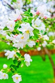 Free Apple Blossom Close-up. Royalty Free Stock Images - 29853959