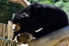 Free Malayan Sun Bear Stock Photos - 29863173