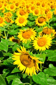 Free Sunflower Field Stock Image - 29863311