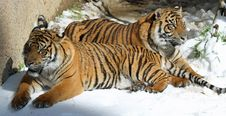 Free Tigers Royalty Free Stock Image - 29865696