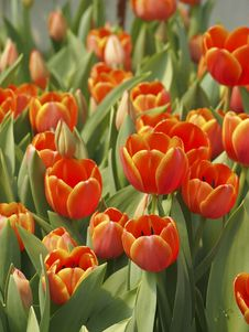 Cluster Of Tulip Royalty Free Stock Photography