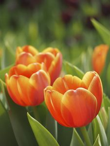 Free Orange Tulip Royalty Free Stock Photo - 29872085