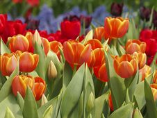 Garden Of Tulip Royalty Free Stock Photography