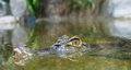 Free Alligator In The Water And Its Reflection Stock Photography - 29888982