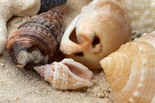 Free Conch Shells Stock Photography - 29889562