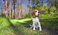Free Beagle In Forest Stock Photos - 29889583
