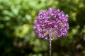 Free Allium Pink Flower Stock Photography - 29892312