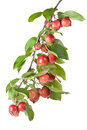 Free Wild Red Apples On A Branch Stock Images - 29895484