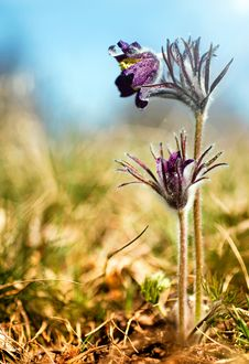 Black Pulsatilla Flowers On The Meadow Stock Images