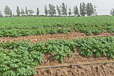 Potato Field In Spring. Royalty Free Stock Photos
