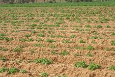 Potato Field In Spring.