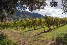 Free A Vineyard In Italy Royalty Free Stock Photo - 29894035