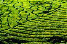 Tea Plantation Landscape. India Royalty Free Stock Images
