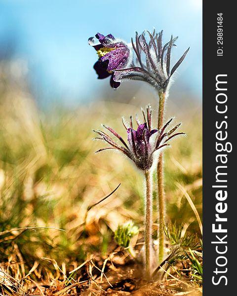 Black Pulsatilla flowers on the meadow