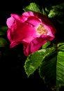 Free Dying Flower Black Background Stock Image - 2992541