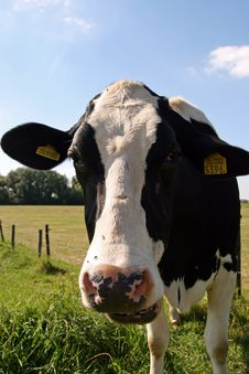 Free Cow Stock Images - 2990014