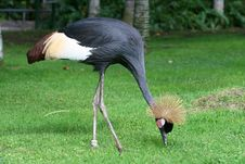 Free Black Crane In The Grass Stock Photos - 2990563