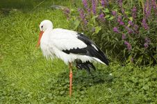 Free Portrait Of A Stork Royalty Free Stock Photos - 2990818